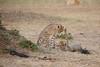Cheetah_Cubs_Mara_Kenya_Asilia_20150125
