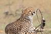 Cheetah_Mara_Asilia_Kenya0043