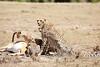 Cheetah_Feast_Mara_Kenya_Asilia_20150225