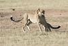 Cheetah_Cub_Playing_Mom_Mara_Kenya_Asilia_20150013