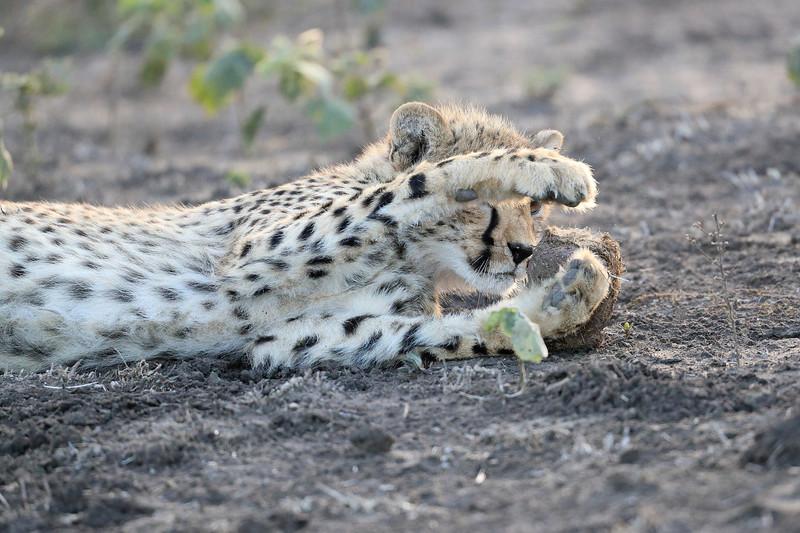 Young_Cheetah_Playing_With_Ball_Phinda_2016_0085
