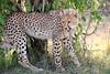 Cheetah_Cubs_Mara_Kenya_Asilia_20150029