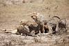 Cheetah_Feast_Mara_Kenya_Asilia_20150015