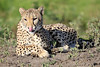 Cheetah_Family_Phinda_2016_0151