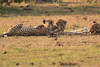 Cheetah_Cubs_Mara_Kenya_Asilia_20150196