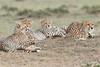 Cheetah_Family_Portraits_Mara_Kenya_Asilia_20150045