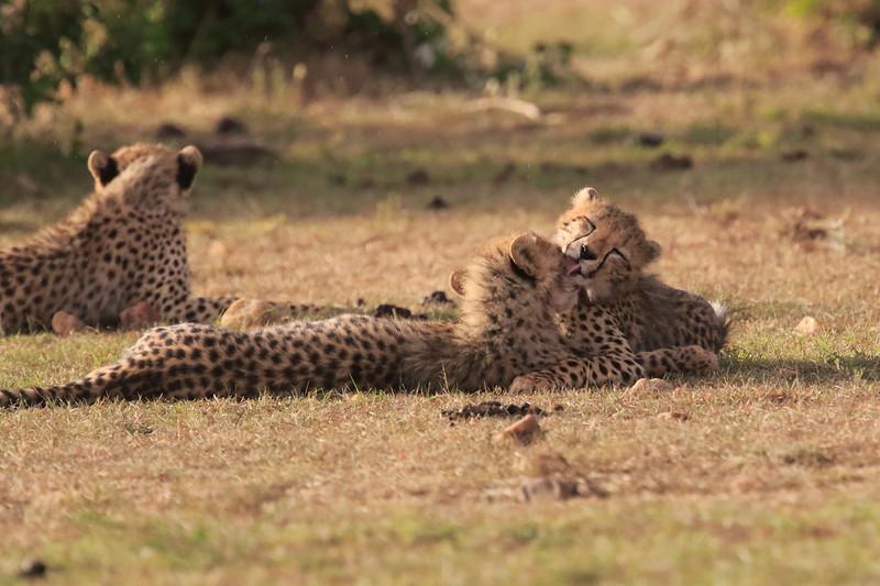 Cheetah_Cubs_Mara_Kenya_Asilia_20150272