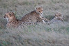 Cheetah_Family_Phinda_2016_0096