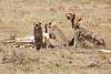 Cheetah_Feast_Mara_Kenya_Asilia_20150094