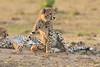 Cheetah_Cubs_Mara_Kenya_Asilia_20150254