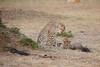 Cheetah_Cubs_Mara_Kenya_Asilia_20150124