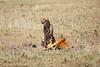 Cheetah_Feast_Mara_Kenya_Asilia_20150185