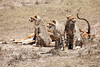 Cheetah_Feast_Mara_Kenya_Asilia_20150022