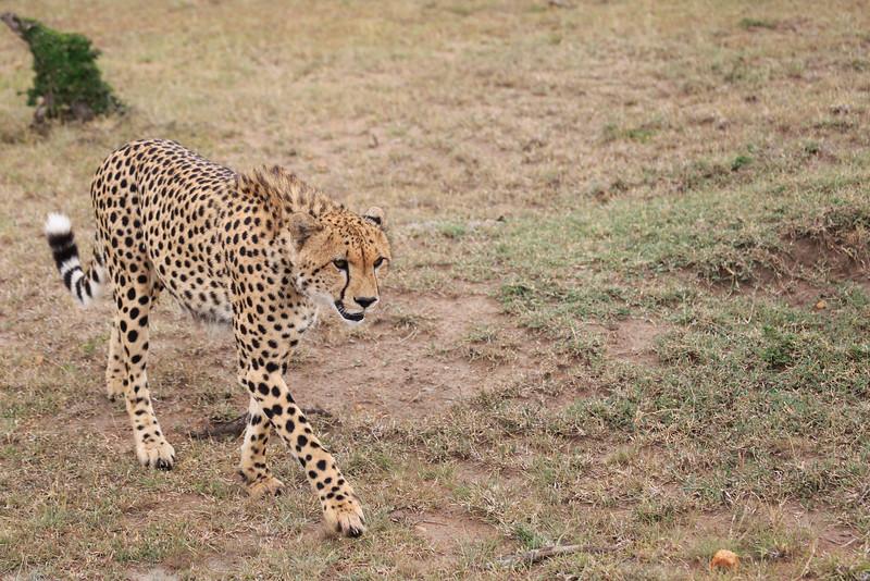 Cheetah_Mara_Asilia_Kenya0020