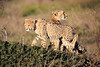 Cheetah_Family_Phinda_2016_0047