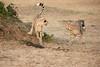 Cheetah_Cubs_Mara_Kenya_Asilia_20150168