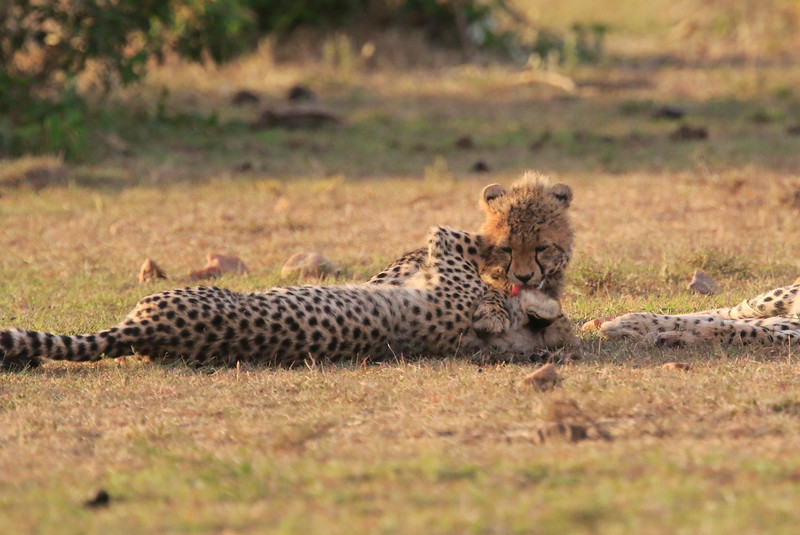 Cheetah_Cubs_Mara_Kenya_Asilia_20150221