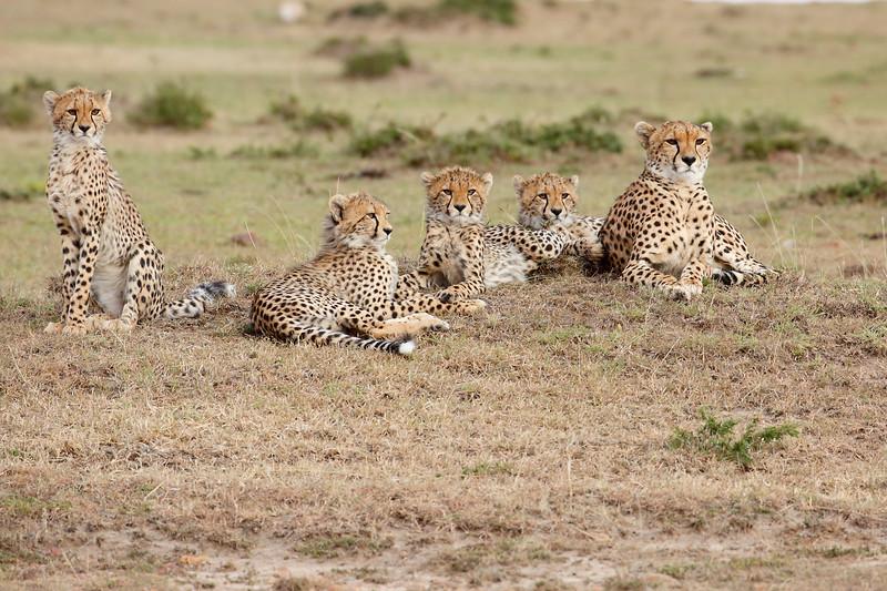 Cheetah_Family_Portraits_Mara_Kenya_Asilia_20150011