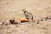 Cheetah_Feast_Mara_Kenya_Asilia_20150040