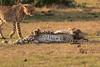 Cheetah_Cubs_Mara_Kenya_Asilia_20150182