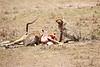 Cheetah_Feast_Mara_Kenya_Asilia_20150129