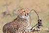 Cheetah_Mara_Asilia_Kenya0042