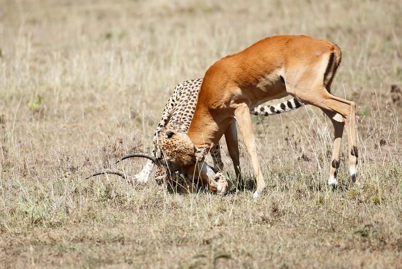 Cheetah_Feast_Mara_Kenya_Asilia_20150161