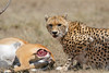 Cheetah_Feast_Mara_Kenya_Asilia_20150238