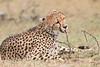 Cheetah_Mara_Asilia_Kenya0052