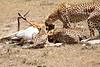 Cheetah_Feast_Mara_Kenya_Asilia_20150078