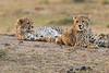 Cheetah_Cubs_Mara_Kenya_Asilia_20150258