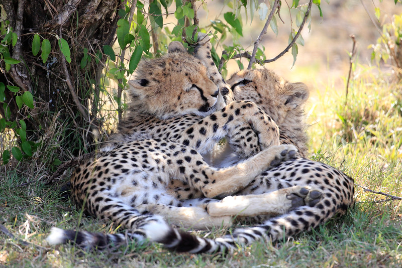 Cheetah_Cubs_Mara_Kenya_Asilia_20150086