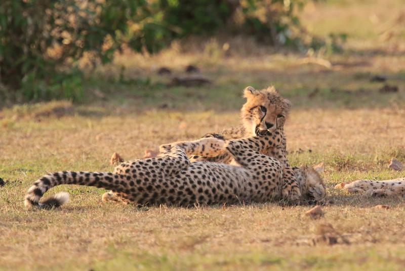Cheetah_Cubs_Mara_Kenya_Asilia_20150220