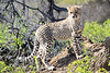 Cheetah_Family_Phinda_2016_0161