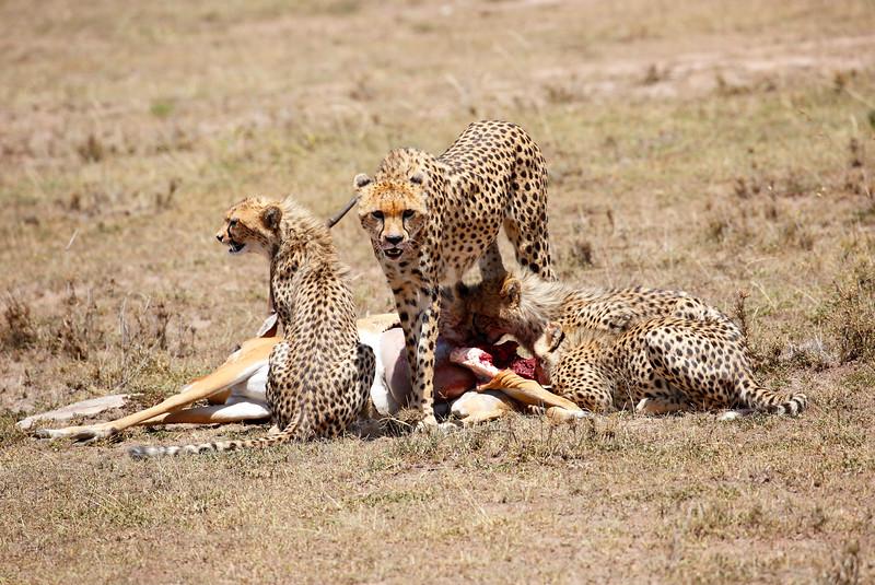 Cheetah_Feast_Mara_Kenya_Asilia_20150121