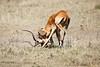 Cheetah_Feast_Mara_Kenya_Asilia_20150182