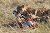 Cheetah Feeding with Cubs Mara Topi House