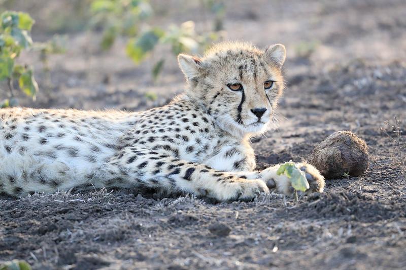 Young_Cheetah_Playing_With_Ball_Phinda_2016_0089