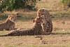 Cheetah_Cubs_Mara_Kenya_Asilia_20150268