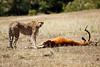 Cheetah_Feast_Mara_Kenya_Asilia_20150197