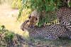 Cheetah_Cubs_Mara_Kenya_Asilia_20150035