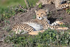 Cheetah_Family_Phinda_2016_0152