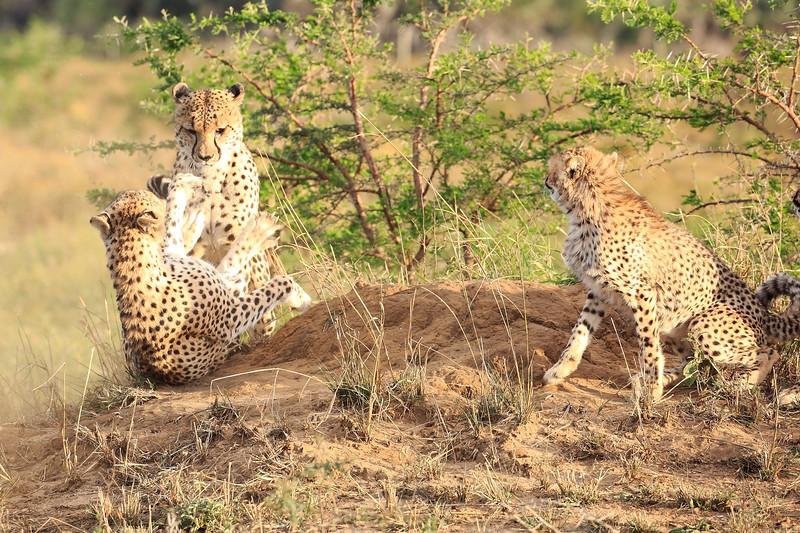 Cheetah_Adventure_Phinda_2016_0016