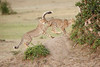Cheetah_Cubs_Mara_Kenya_Asilia_20150141