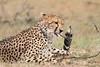 Cheetah_Mara_Asilia_Kenya0045