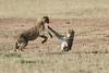 Cheetah_Cubs_Mara_Kenya_Asilia_20150264