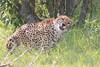 Cheetah_Mara_Asilia_Kenya0064