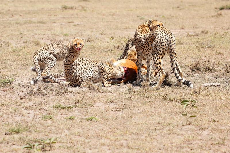 Cheetah_Feast_Mara_Kenya_Asilia_20150056