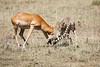 Cheetah_Feast_Mara_Kenya_Asilia_20150155