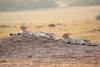 Cheetah_Cubs_Mara_Kenya_Asilia_20150104